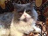 Кішки, кошенята Персидська, Фото