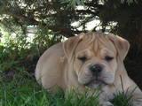 Собаки, щенки Мальоркский бульдог (Ка Де Бо), цена 22000 Грн., Фото