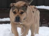 Собаки, щенята Мальоркскій бульдог (Ка Де Бо), ціна 22000 Грн., Фото