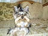 Собаки, щенки Йоркширский терьер, цена 800 Грн., Фото
