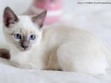 Кішки, кошенята Тайська, ціна 4000 Грн., Фото