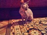 Кошки, котята Канадский сфинкс, цена 1000 Грн., Фото