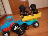 Собаки, щенята Доберман, ціна 2700 Грн., Фото