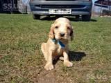 Собаки, щенки Английский коккер, цена 1000 Грн., Фото