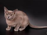 Кішки, кошенята Бурма, ціна 8000 Грн., Фото