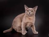 Кошки, котята Бурма, цена 8000 Грн., Фото