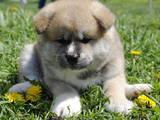Собаки, щенята Акіта-іну, ціна 15000 Грн., Фото