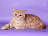 Кошки, котята Шотландская короткошерстная, цена 12000 Грн., Фото
