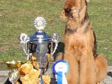 Собаки, щенки Эрдельтерьер, цена 6500 Грн., Фото
