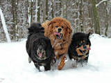 Собаки, щенки Тибетский мастиф, цена 25000 Грн., Фото