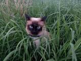 Кішки, кошенята Меконгській бобтейл, Фото