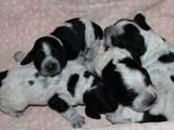 Собаки, щенята Російський спаніель, ціна 3500 Грн., Фото