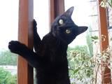 Кішки, кошенята Бомбейська, Фото
