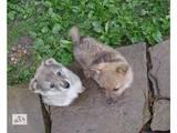 Собаки, щенята Східно-сибірська лайка, ціна 2000 Грн., Фото