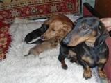 Собаки, щенки Гладкошерстная такса, цена 600 Грн., Фото