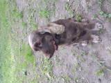 Собаки, щенята Англійський коккер, ціна 400 Грн., Фото
