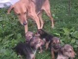 Собаки, щенята Російський хорт, ціна 500 Грн., Фото