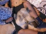 Кошки, котята Сиамская, цена 300 Грн., Фото