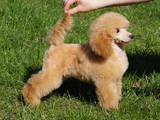 Собаки, щенята Карликовий пудель, ціна 6000 Грн., Фото