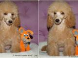 Собаки, щенки Карликовый пудель, цена 6000 Грн., Фото