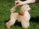 Собаки, щенки Той-пудель, цена 6000 Грн., Фото