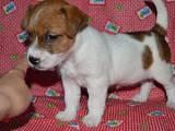 Собаки, щенки Джек Рассел терьер, цена 6500 Грн., Фото