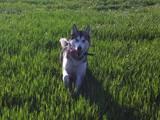 Собаки, щенята Аляска маламут, ціна 500 Грн., Фото