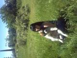 Собаки, щенки Сенбернар, цена 4500 Грн., Фото