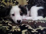 Собаки, щенята Папільон, ціна 1500 Грн., Фото
