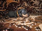 Собаки, щенята Гладкошерста такса, ціна 450 Грн., Фото