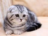 Кошки, котята Экзотическая короткошерстная, Фото
