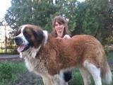 Собаки, щенки Московская сторожевая, цена 5000 Грн., Фото