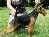 Собаки, щенята Вельштер'єр, ціна 12000 Грн., Фото