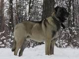 Собаки, щенята Турецька Кангал, ціна 5000 Грн., Фото