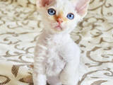 Кішки, кошенята Девон-рекс, ціна 3000 Грн., Фото