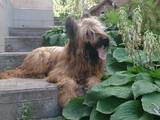 Собаки, щенки Бриар, цена 10000 Грн., Фото