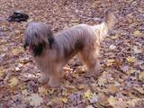 Собаки, щенята Бріар, ціна 10000 Грн., Фото