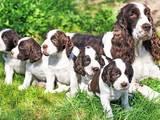 Собаки, щенята Англійська Спрінгер спаніель, ціна 7000 Грн., Фото