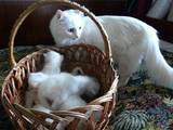 Кошки, котята Турецкая ангора, цена 500 Грн., Фото