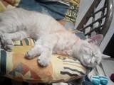 Кошки, котята Экзотическая короткошерстная, цена 1 Грн., Фото