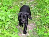 Собаки, щенята Кане Корсо, ціна 4600 Грн., Фото