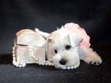 Собаки, щенята Цвергшнауцер, ціна 500 Грн., Фото
