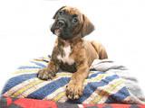 Собаки, щенята Боксер, ціна 2000 Грн., Фото