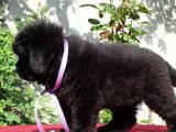 Собаки, щенки Ньюфаундленд, цена 12700 Грн., Фото