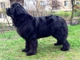 Собаки, щенята Ньюфаундленд, ціна 13000 Грн., Фото