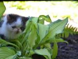 Кішки, кошенята Екзотична короткошерста, ціна 2000 Грн., Фото