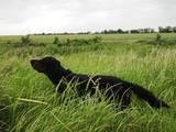 Собаки, щенки Английский сеттер, цена 5000 Грн., Фото