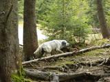 Собаки, щенки Английский сеттер, цена 10000 Грн., Фото