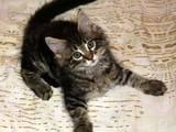 Кішки, кошенята Мейн-кун, ціна 1500 Грн., Фото