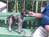Собаки, щенки Немецкая жесткошерстная легавая, цена 3500 Грн., Фото